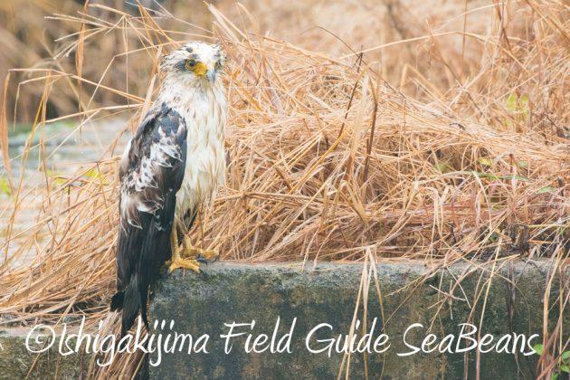 9月6日石垣島バードウオッチング&野鳥撮影ガイド10