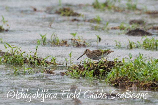 9月6日石垣島バードウオッチング&野鳥撮影ガイド3