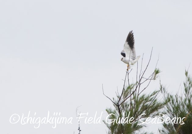 C-_Users_SeaBeans_Desktop_9月5日石垣島バードウオッチング&野鳥撮影ガイド12