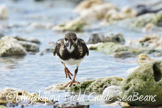 9月3日石垣島バードウオッチング&野鳥撮影ガイド17