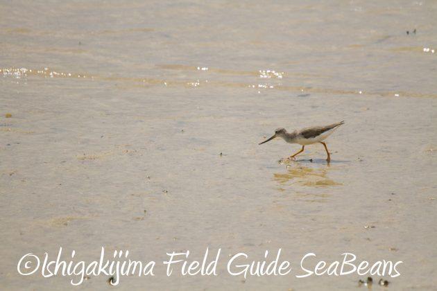 9月3日石垣島バードウオッチング&野鳥撮影ガイド18