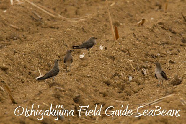 9月1日石垣島バードウオッチング&野鳥撮影ガイド17
