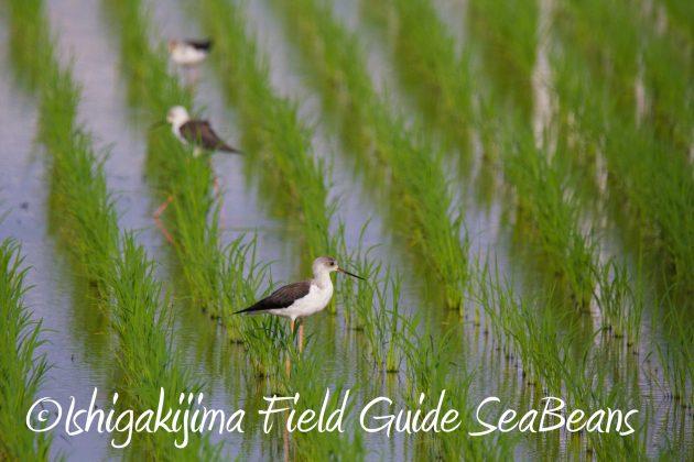 9月3日石垣島バードウオッチング&野鳥撮影ガイド8
