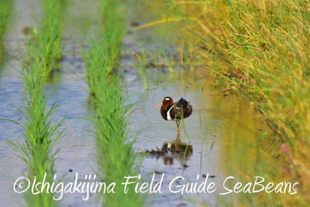 9月4日石垣島バードウオッチング&野鳥撮影ガイド3