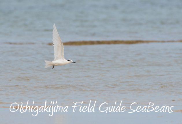 9月7日石垣島バードウオッチング&野鳥撮影ガイド12