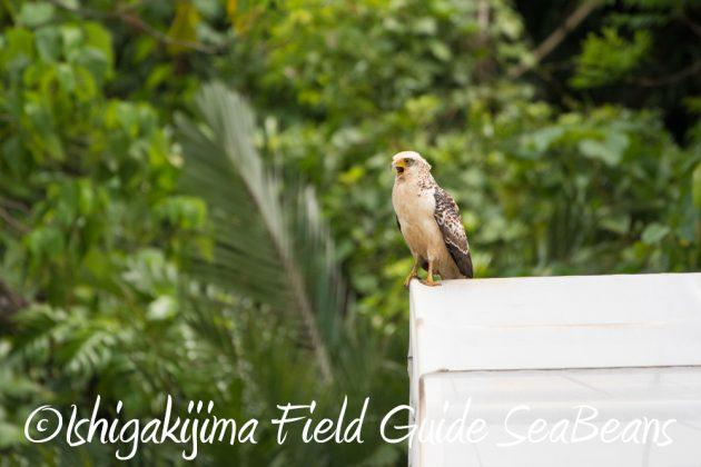 9月7日石垣島バードウオッチング&野鳥撮影ガイド8