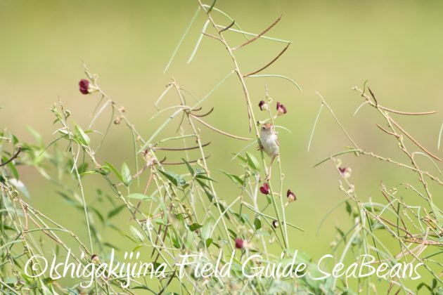 C-_Users_SeaBeans_Desktop_9月5日石垣島バードウオッチング&野鳥撮影ガイド11