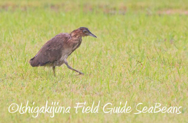 9月6日石垣島バードウオッチング&野鳥撮影ガイド14