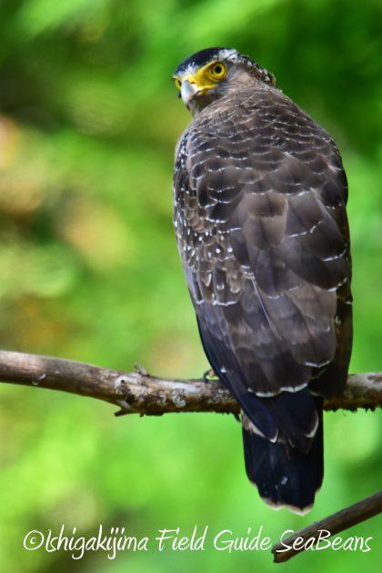 9月4日石垣島バードウオッチング&野鳥撮影ガイド19