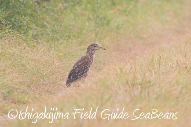 9月6日石垣島バードウオッチング&野鳥撮影ガイド13