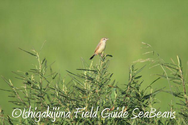 9月4日石垣島バードウオッチング&野鳥撮影ガイド1