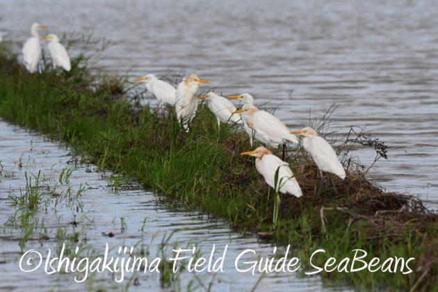 9月7日石垣島バードウオッチング&野鳥撮影ガイド3