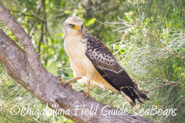 9月4日石垣島バードウオッチング&野鳥撮影ガイド18