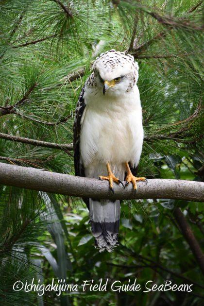 9月7日石垣島バードウオッチング&野鳥撮影ガイド15