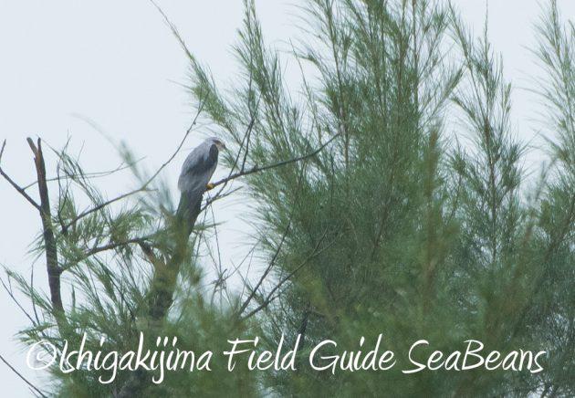 9月6日石垣島バードウオッチング&野鳥撮影ガイド9