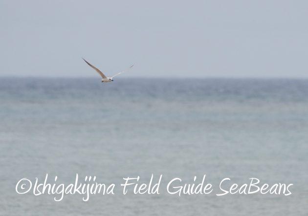 C-_Users_SeaBeans_Desktop_9月5日石垣島バードウオッチング&野鳥撮影ガイド16