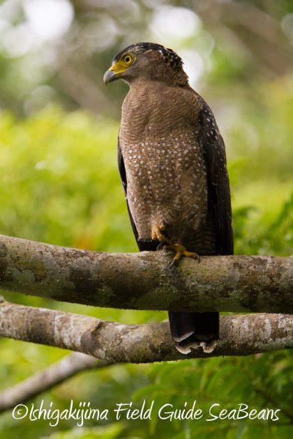 9月1日石垣島バードウオッチング&野鳥撮影ガイド15