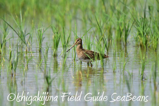 9月4日石垣島バードウオッチング&野鳥撮影ガイド14