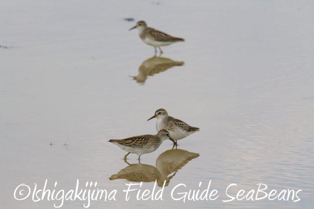 9月1日石垣島バードウオッチング&野鳥撮影ガイド8