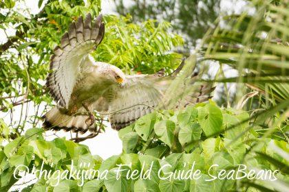 カンムリワシ 幼鳥 飛翔