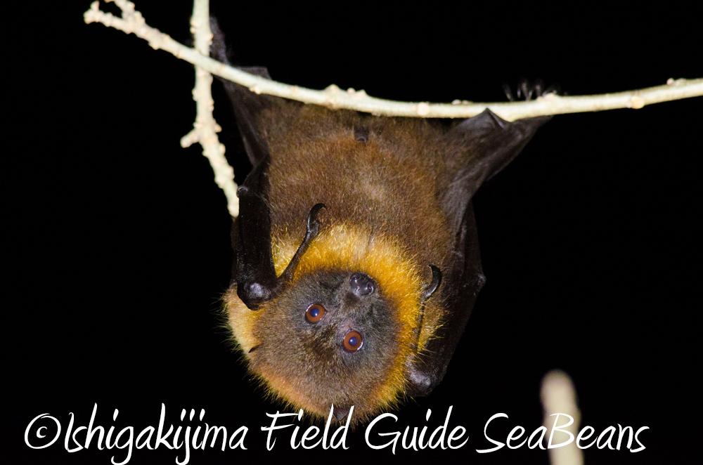 石垣島のコウモリ。Ishigaki Island Bats.