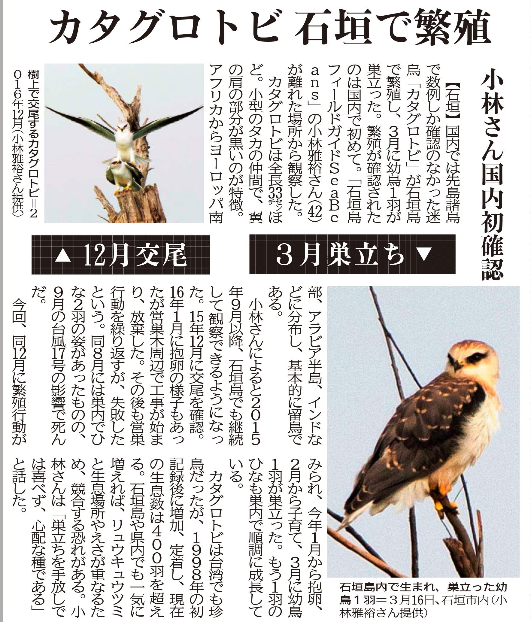 カタグロトビ石垣で繁殖 沖縄タイムス