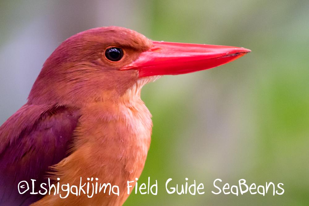 今日もキンバトを探鳥!!バードウオッチング&野鳥撮影ガイド。
