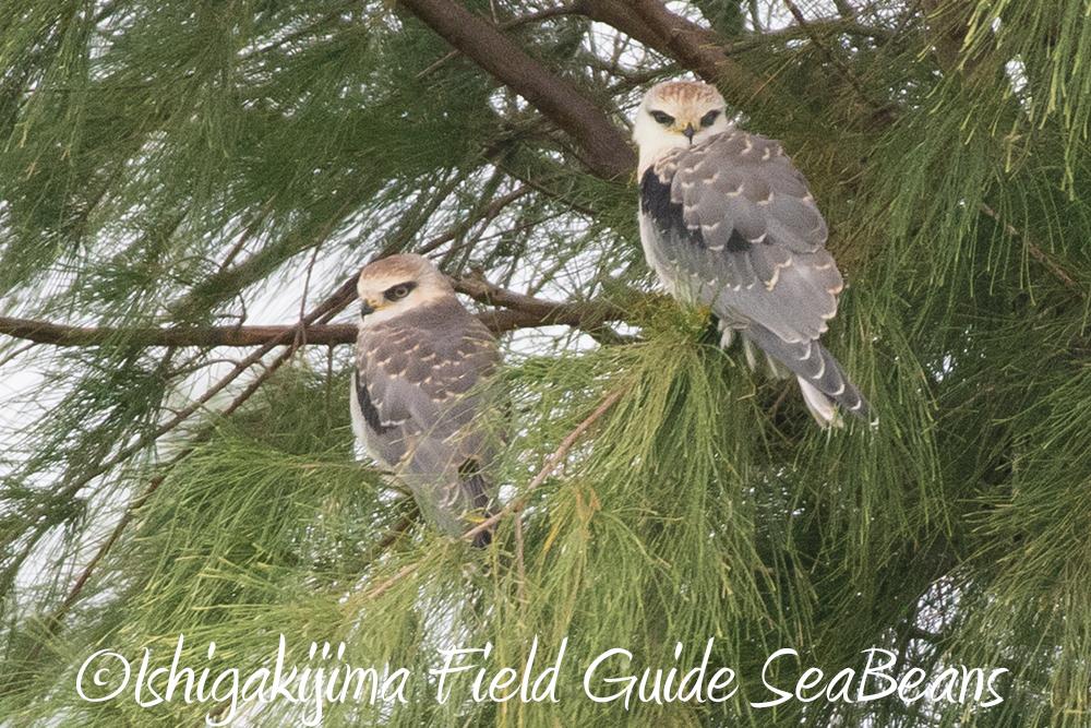 雨と強風で寒い!!クロウタドリにギンムクドリにメジロガモ雌などなど、バードウオッチング&野鳥撮影ガイド。