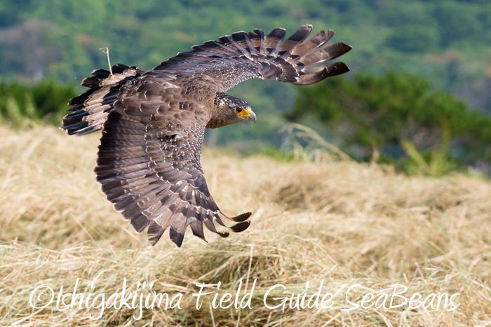 カンムリワシ飛翔&ジャワアカガシラサギ&ベニバト等など盛り沢山のバードウオッチング&野鳥撮影ガイド。