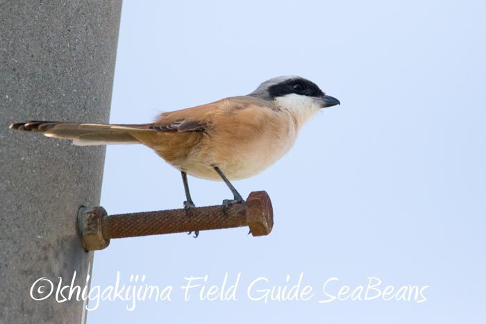 カンムリワシ&ムラサキサギ沢山、ベニバト、タカサゴモズ等など盛り沢山のバードウオッチング&野鳥撮影ガイド。