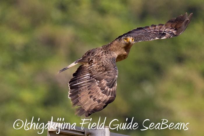 カンムリワシ飛翔!!カタグロトビ、ベニバト、シロハラクイナ等など盛り沢山!!出会い盛り沢山のバードウオッチング&野鳥撮影ガイド。