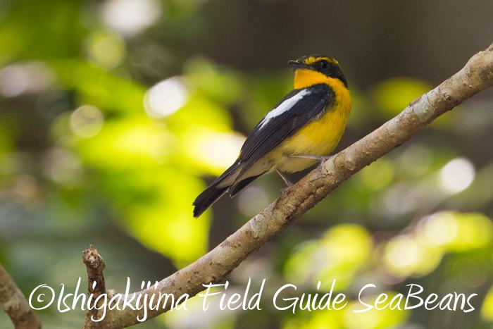 今日もヤツガシラを探し周る!!カンムリワシ、カタグロトビ等石垣島の野鳥たちをバードウオッチング&野鳥撮影ガイド。