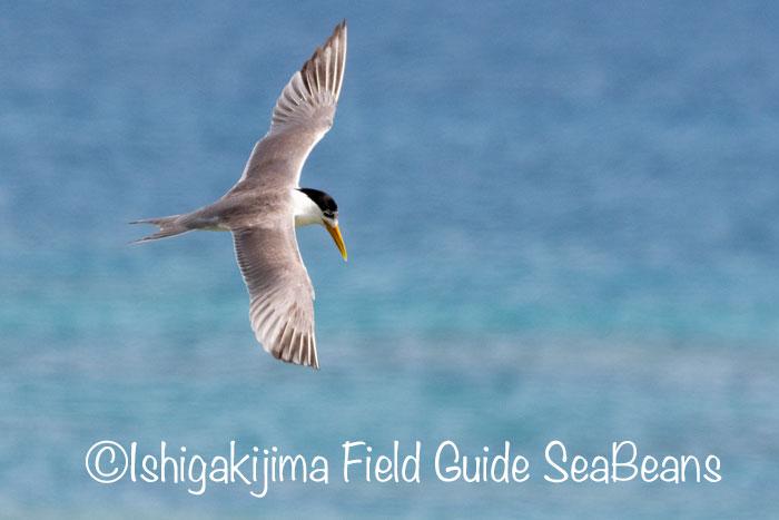 オオアジサシ、大サービス日!!バードウオッチング&野鳥撮影。