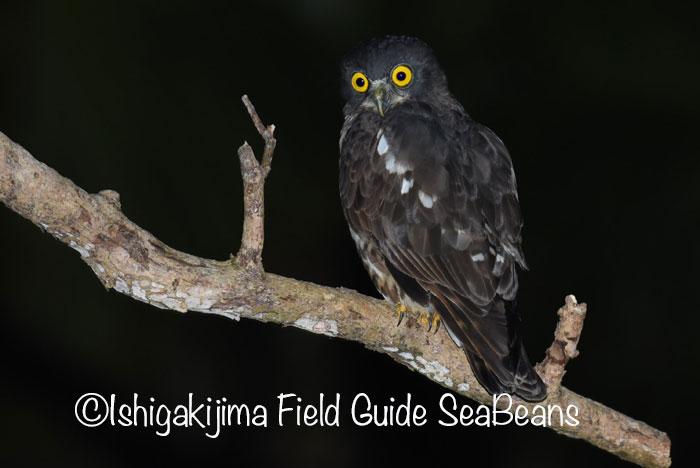 夜のバードウオッチング&野鳥撮影のナイトツアー !!