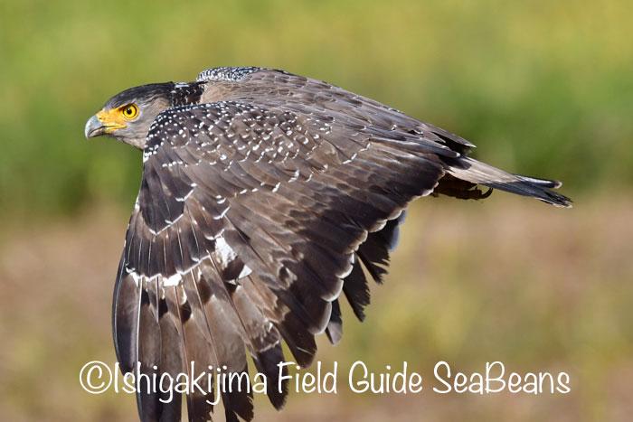 レンカク、カンムリワシ、カタグロトビ、エリマキシギ、ウズラシギ等など盛り沢山!!バードウオッチング&野鳥撮影ガイド。