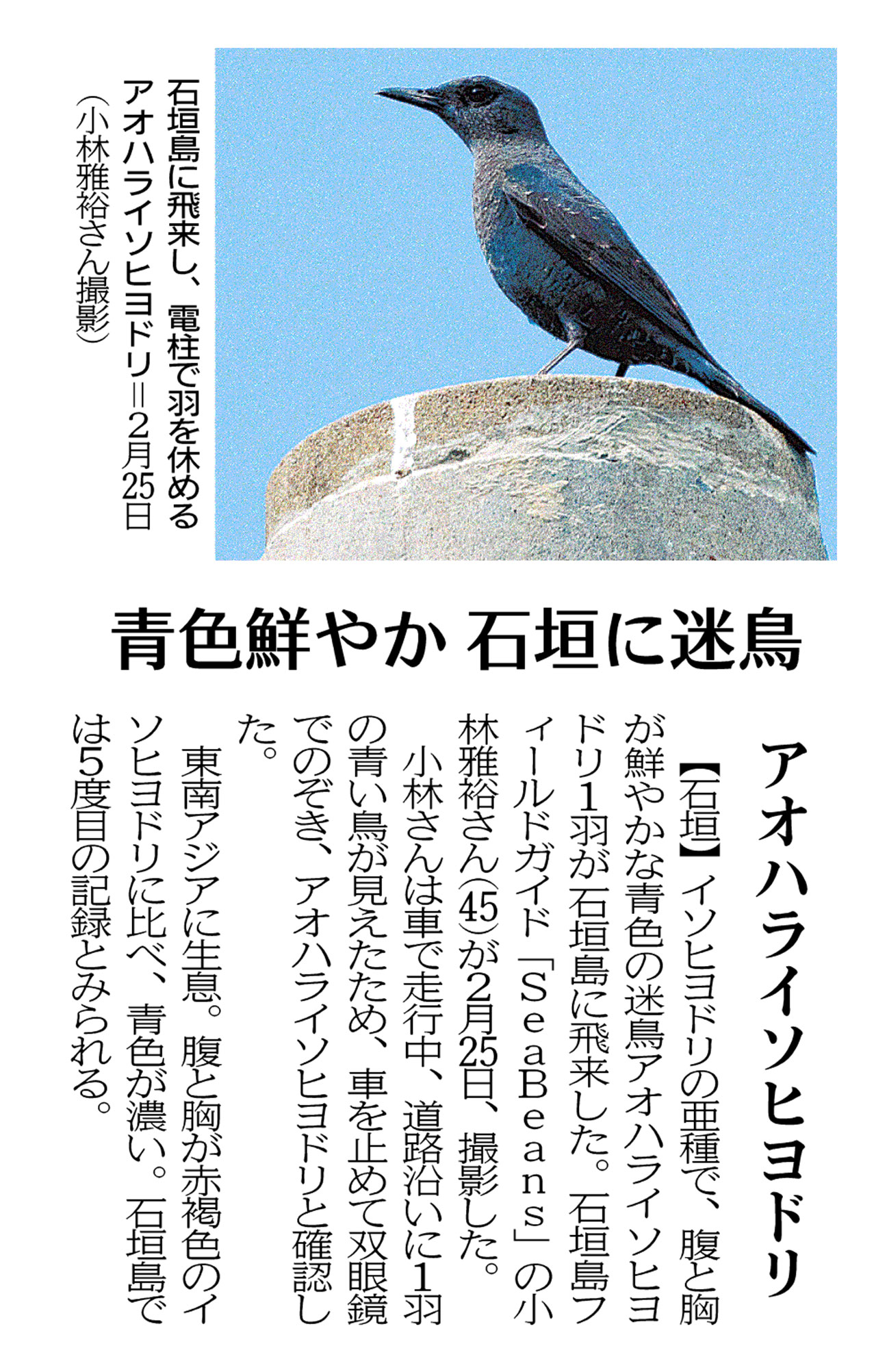 沖縄タイムス 朝刊「青色鮮やか石垣に迷鳥 アオハライソヒヨドリ」