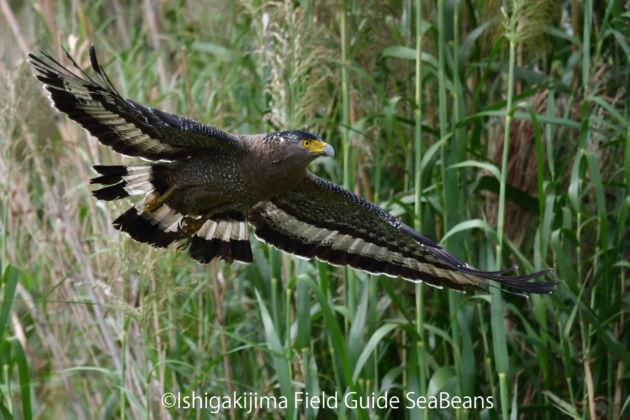 カンムリワシ飛翔!! Crested serpent eagle