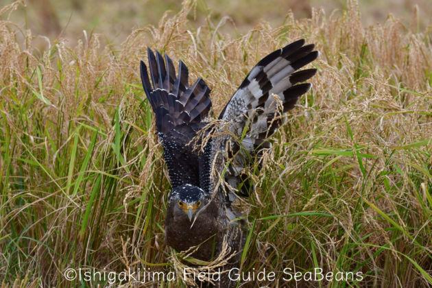 獲物を探すカンムリワシ!!Crested serpent eagle looking for prey.