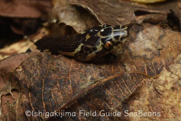 サキシママダラ幼蛇!!Sakishima odd-tooth snake.