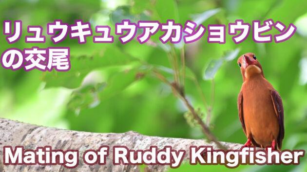 【アカショウビンの交尾】石垣島のリュウキュウアカショウビン 交尾 Mating of Ruddy Kingfisher