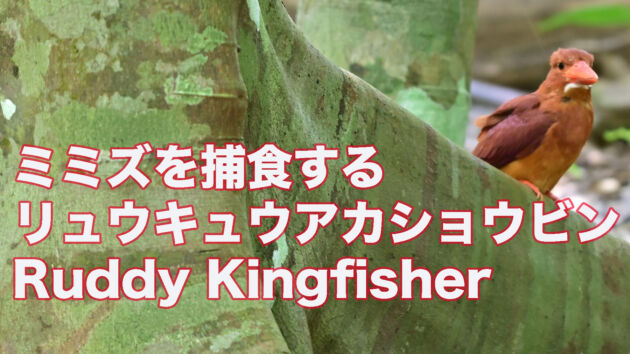 【石垣島のアカショウビン】ミミズを捕食するリュウキュウアカショウビンRuddy Kingfisher