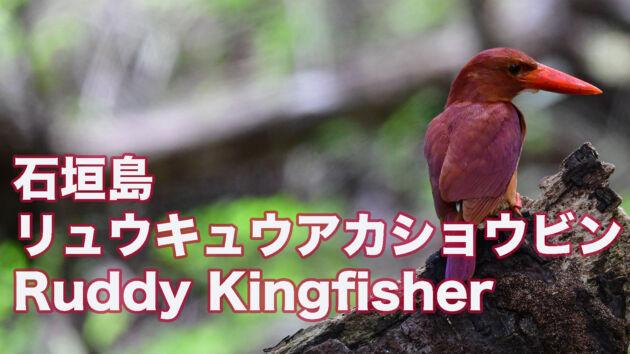 【石垣島のアカショウビン】可愛いリュウキュウアカショウビン Ruddy Kingfisher