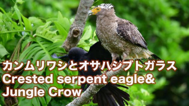 【石垣島の猛禽類】カンムリワシとオサハシブトガラス Crested serpent eagle &Jungle Crow