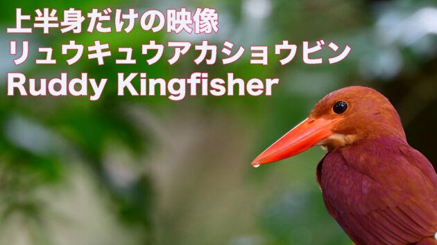 【石垣島のアカショウビン】上半身だけの映像!!リュウキュウアカショウビン Ruddy Kingfisher