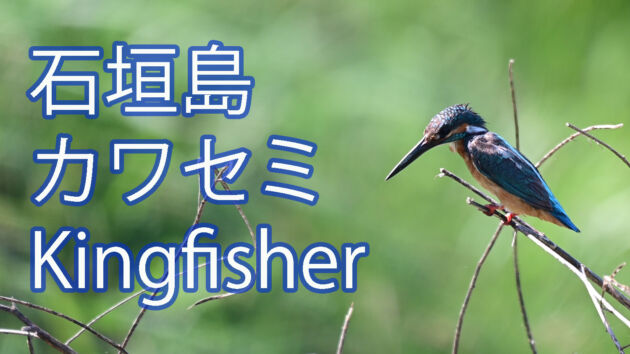 【リュウキュウアカショウビンよりも出会いが難しい!】 カワセミ Kingfisher