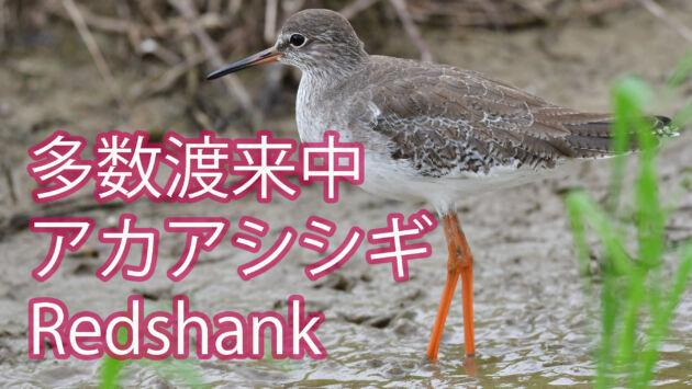 【多数渡来中】 アカアシシギ Redshank