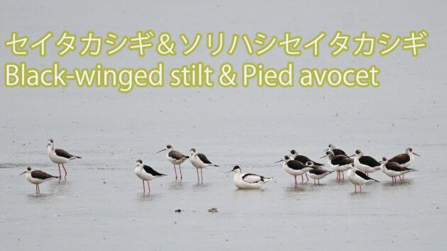 【羽休め中】セイタカシギ&ソリハシセイタカシギ Black winged stilt & Pied avocet