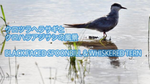 【水田の風景】クロツラヘラサギとクロハラアジサシ BLACK FACED SPOONBILL & WHISKERED TERN