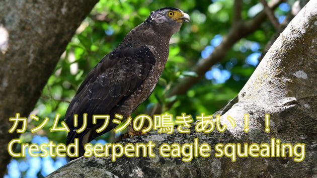 【激しく鳴く】2羽のカンムリワシの鳴きあい Crested serpent eagle squealing