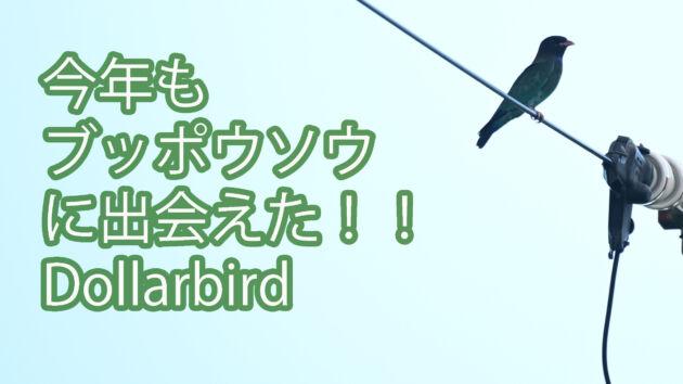 【春と秋の渡り鳥】今年も複数羽に出会えた! ブッポウソウ Dollarbird